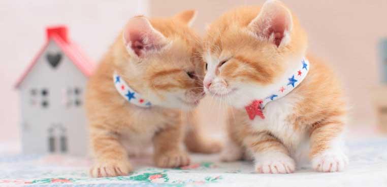 Cara Merawat Kucing Baru Lahir