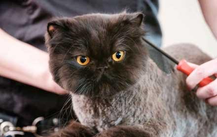 Harga Grooming Kucing 2020