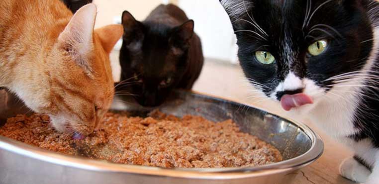 Makanan Anak Kucing Kampung