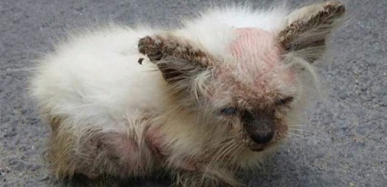 Penyebab Dan Cara Mengobati Scabies Pada Kucing