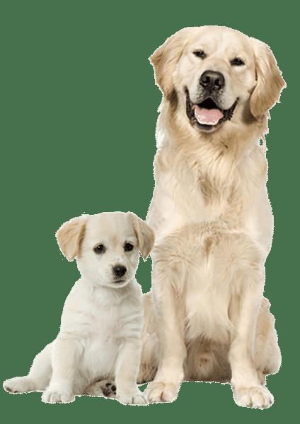 Proses Pemacakan Anjing