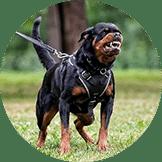 Jasa Pacak Anjing Rottweiler