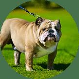 Pacak Anjing Bulldog
