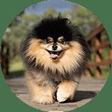 Pacak Anjing Pom