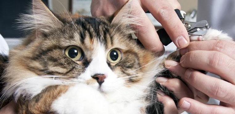 Cara Memotong Kuku Kucing Terlalu Pendek