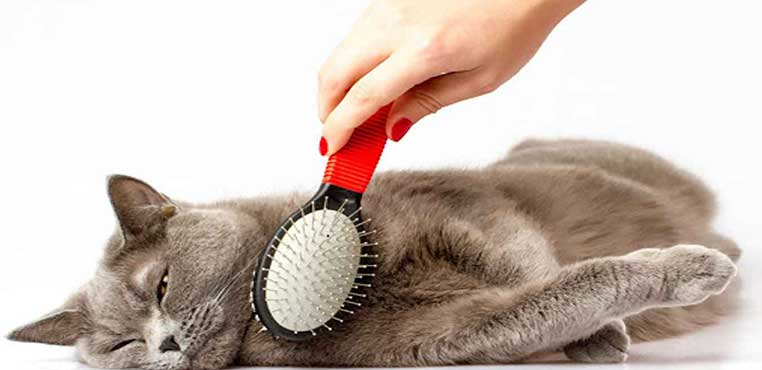 Cara Menghilangkan Kutu Kucing Dengan Minyak Kayu Putih