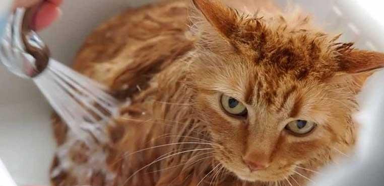 Cara Menghilangkan Kutu Kucing Pada Manusia