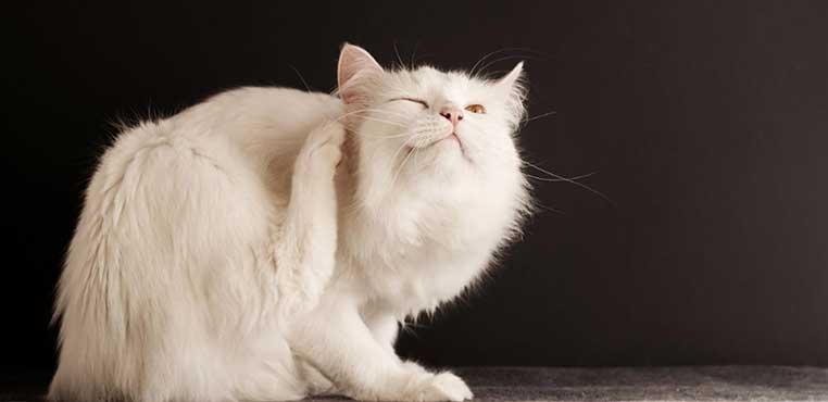 Cara Menghilangkan Kutu Pada Kucing Secara Alami