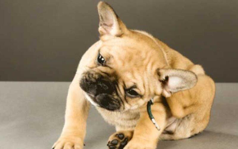 Penyakit Kulit Anjing