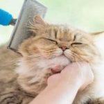 Biaya Grooming Kucing