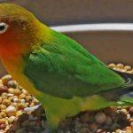Makanan Burung Lovebird Yang Bagus