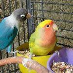 Pakan Burung Lovebird Biar Gacor