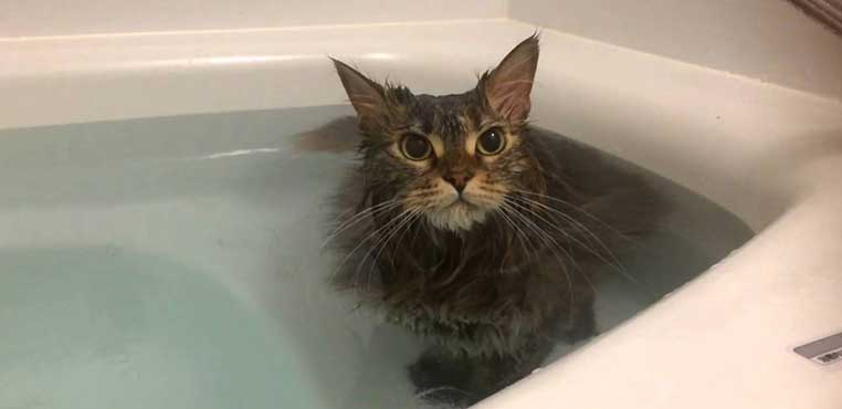Cara Grooming Kucing Di Petshop Sendiri