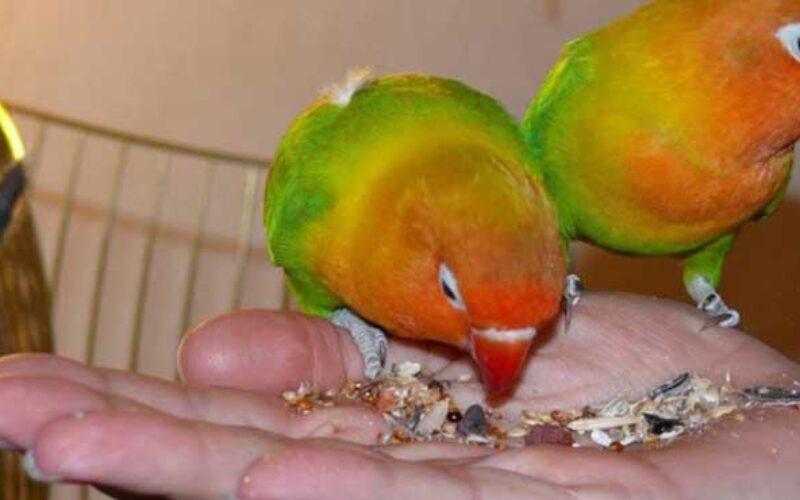 Harga Makanan Lovebird