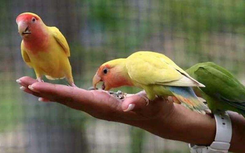 Makanan Lovebird Biar Ngekek