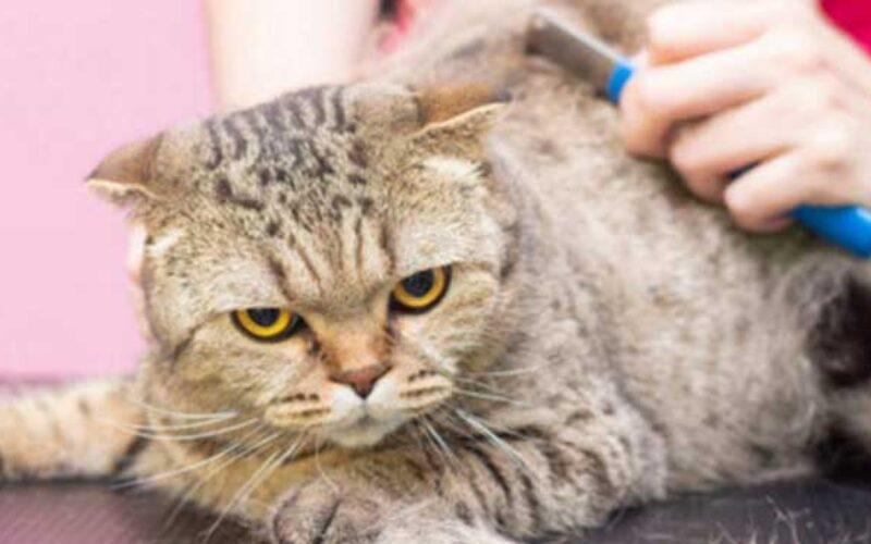 Pengertian Grooming Kucing