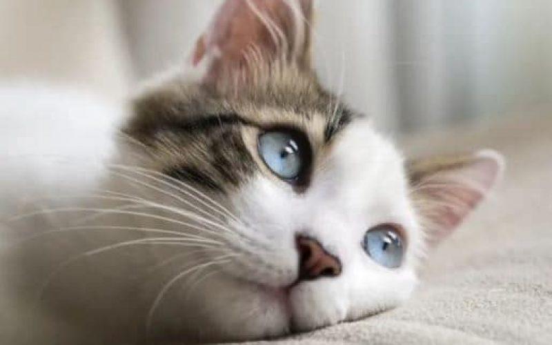 9 Cara Menumbuhkan Bulu Kucing yang Terkena Jamur